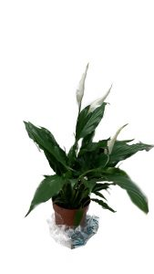 Spathiphyllum (Peace lily)